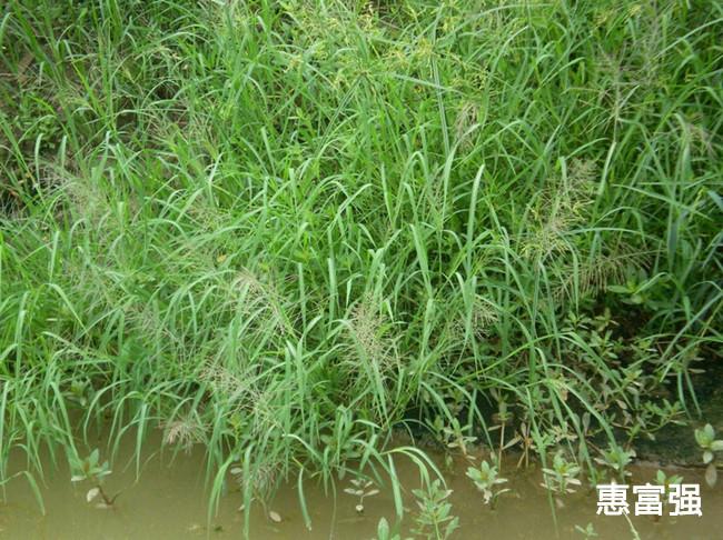 ... 农业科技有限公司 - 图谱 - 草害 - 水稻田常见杂草